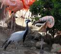 Demoiselle Crane In Zoo With Mixed Community Of Birds Including Flamingos animaux provenant de Grue demoiselle