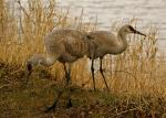 Pair of Sandhill Cranes Stands By Shore of Lake animaux provenant de Grue de Sandhill