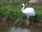 Whooping Crane On Edge Of Pond In Calgary Zoo animaux provenant de Grue blanche