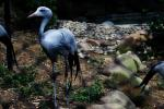 Picture Of Graceful African Blue Crane Behind Fence In Chinese Zoo animaux provenant de Grue bleue