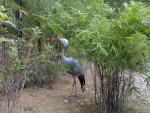 Blue Crane Photographed In Hong Kong Zoological Garden animaux provenant de Grue bleue