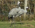 Gray And Rather Drab Pair Of Common Cranes in UK animaux provenant de Grue cendr�e
