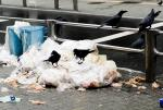 Crows Attack Plastic Garbage Bags In Shibuya Area of Tokyo, Japan animaux provenant de Corneille