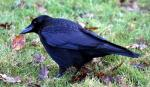 A Crow On A Lawn That Looks Very Attentive animaux provenant de Corneille