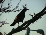 Backlit Dark Crow Walks Up Branch On Brighton Tree animaux provenant de Corneille