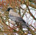 Handsome Hooded Crow Alights In April Tree With Red Twigs animaux provenant de Corneille