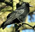 Sharp Looking Crow Perches On Small Twig Branching Of Tree animaux provenant de Corneille