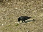 Wide Shot: Rook Opens Beak And Looks At Ground Near Stone animaux provenant de Corneille