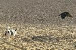 Rook Takes Flight Away From Small Dog At Brighton beach animaux provenant de Corneille