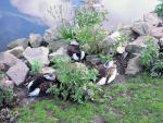 Can You Spot Three Long-tailed Ducks Blending Into Their Surroundings? animaux provenant de Canard à longue queue