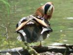 Mandarin Duck Standing On A Log Preening Itself animaux provenant de Canard mandarin