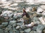 Here Is A Mandarin Duck - On The Rocks animaux provenant de Canard mandarin