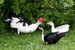 A Male Muscovy Duck Gives Two Females Quacking Lessons animaux provenant de Canard de Barbarie