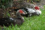 The Red Headed Muscovy Ducks Taking An Afternoon Rest animaux provenant de Canard de Barbarie
