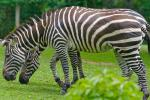 Two Striped Grant's Zebras Graze Together animaux provenant de Z�bre