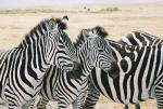 Thoughtful Zebras Near Ngorongoro Crater animaux provenant de Z�bre