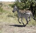 Masa Marai Zebra Canters On Right Lead Near Tree animaux provenant de Z�bre