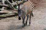 Zebra Walks Slowly Towards Photographer animaux provenant de Zèbre