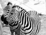 Two Monochrome Zebras are Interested in Something animaux provenant de Z�bre