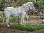 Unusual Zebra With Blue Eyes and Light-Colored Stripes animaux provenant de Zèbre