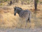 Zebra Facing Away Looks Over Shoulder At Photographer animaux provenant de Z�bre