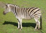 Zebra Stands In Profile, Casts Shadow animaux provenant de Z�bre