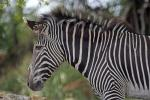 Serious-Looking Grevey's Zebra in Profile animaux provenant de Z�bre