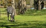 Zebra Grazes Inside T-Post Fence Near Body of Water animaux de  Jacinte5 provenant de Zèbre