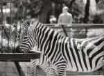 A Pair of Black And White Zebras Eat Hay From Feeder animaux provenant de Zèbre