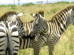 Three Wild Zebras From Kenya animaux provenant de Zèbre