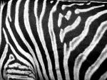 Close-Up of Zebra Stripe Pattern animaux provenant de Zèbre
