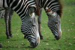 Two Beautiful Zebras Put Noses To Ground animaux provenant de Z�bre