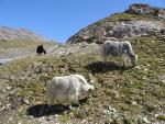 Yaks Appear to Graze on Remarkably Poor Forage animaux provenant de Yak