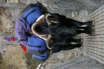 Black Yak Carries Heavy Load in Synthetic Fiber Bags animaux provenant de Yak