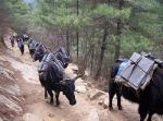Yaks Carry Cargo Up Mountain Path By Pines animaux provenant de Yak