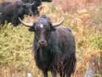 Curved Horn Yak With White Spot on Forehead Looks at Photographer animaux provenant de Yak