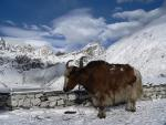 Brown and White Yak Stands in Snow at High Altitude animaux de                   Janelle75 provenant de Yak
