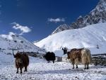 Three Yaks By Stone animaux in Snow Covered Nepalese Mountains animaux de                   Jani72 provenant de Yak