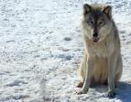 Gray Wolf Pants on Snow animaux provenant de Loup