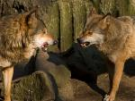 A Pair of Zoo Wolves Get Snarly animaux provenant de Loup