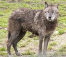 Wolf With Disheveled Mane And Underbite animaux provenant de Loup