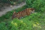 Tiger From Above with Powerful Back Muscles animaux provenant de Tigre