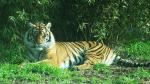A Very Peaceful Sumatran Tiger animaux provenant de Tigre