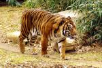 Tiger Stalks on Well-Worn Dirt Path animaux provenant de Tigre