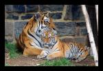 Baby Tiger with Mommy Tiger Sit Together animaux provenant de Tigre