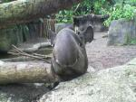 Somewhat Distorted Tapir Wants To Snuffle Photographer animaux provenant de Tapir