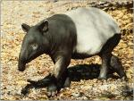 Tapir Walking With High-Contrast Shadows animaux provenant de Tapir
