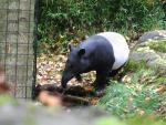 Tapir Steps Carefully on Fallen Autumn Leaves animaux provenant de Tapir
