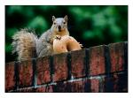 Squirrel Holds Stolen Bagel On Top Of Brick animaux animaux provenant de Ecureuil