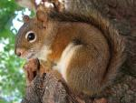 Tan And White Grey Squirrel Curled Up In Tree animaux provenant de Ecureuil